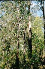 Eucalyptus_2